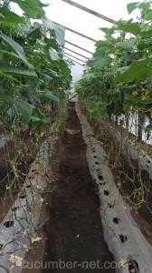 The cucumber net is a vital tutoring for good crop development