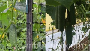 Cucumber net with box 25 x 25 cm. It facilitates the activities undertaken in the cultivation