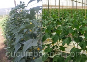 The cucumber net is better support compared to agricultural raffia.