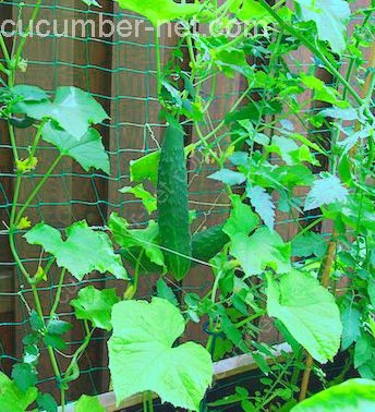 cucumber netting against a fence
