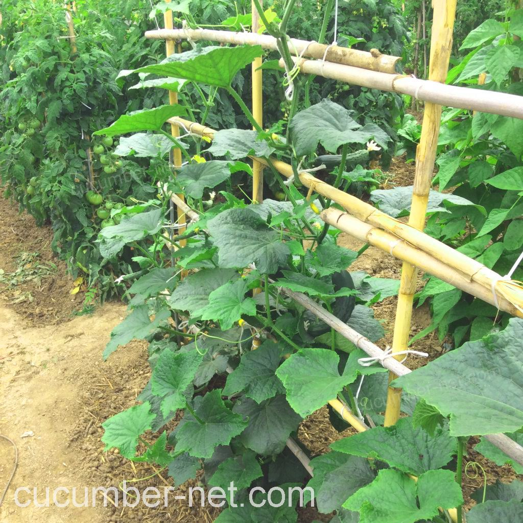 bamboo trellis for cucumbers