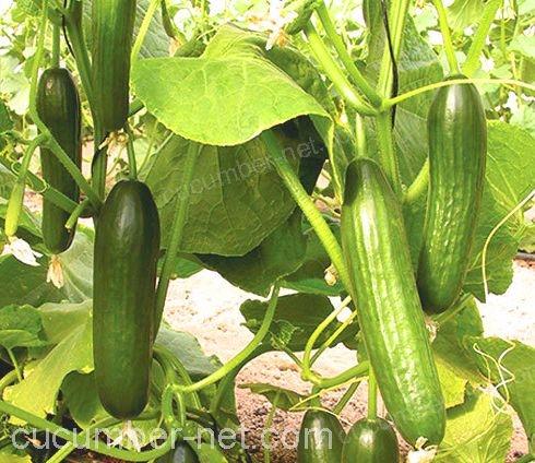 cucumber raffia twine