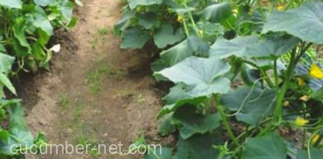 plant of cucumbers on the ground without netting